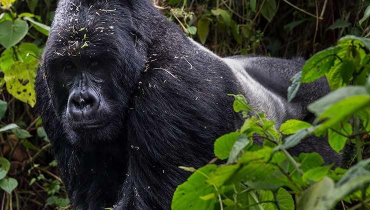 Los gorilas de montaña son una especie única que habita en África central (Foto: Parque Nacional Virunga).