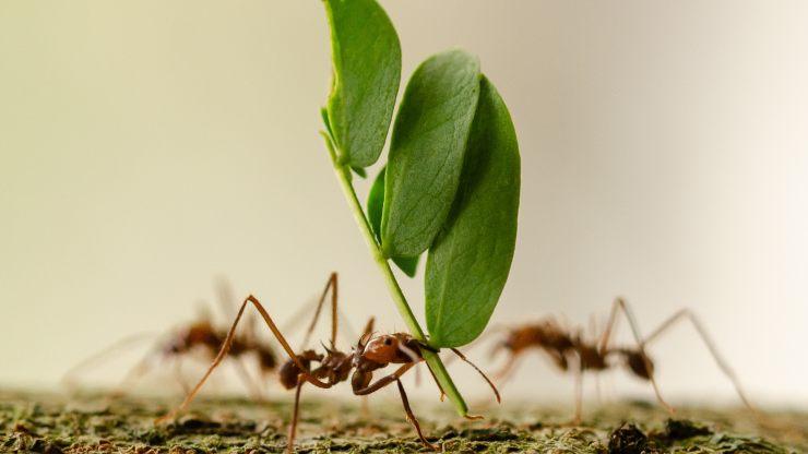de qué manera se comunican las hormigas