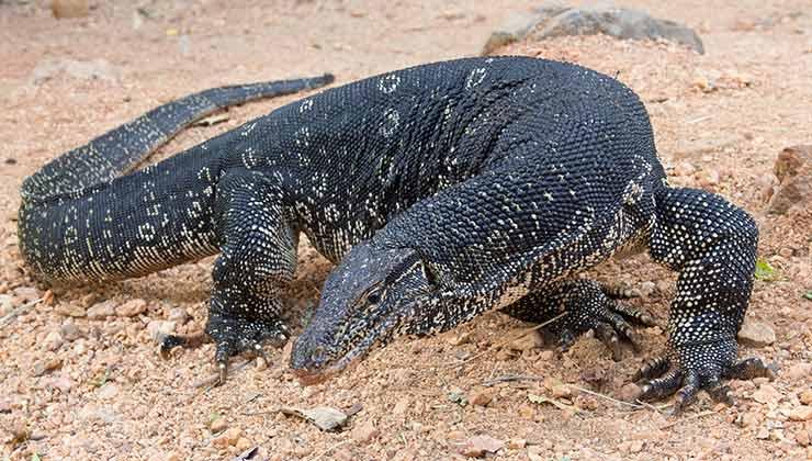Un lagarto gigante puede espantar a cualquier, más adentro de un supermercado. Un ejemplar de la especie Varanus salvator puede llegar a pesar 60 kilos (Foto de Carlos Delgado - Wikipedia).