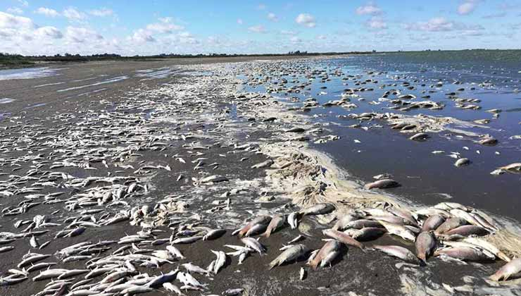 La mortandad de peces en la laguna de Junín está asociada a la mala calidad del agua para la vida (Foto de Pampa Húmeda Hoy - Twitter).