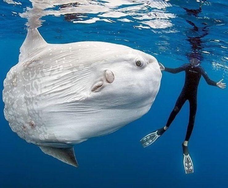 Este gigante es un pez luna