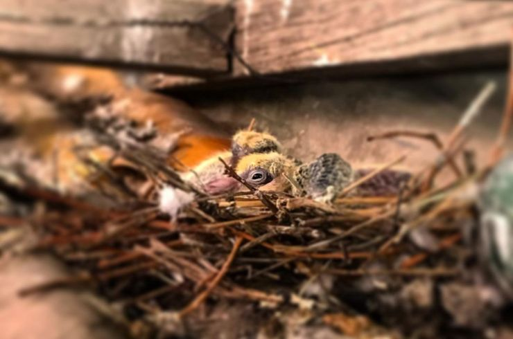 ¿Encontraste un pichón de paloma lejos de su nido? 5 consejos para salvarlo