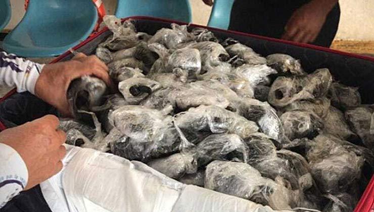 Las tortugas confiscadas estaban envueltas en film plástico (Foto Fiscalía General de Ecuador).