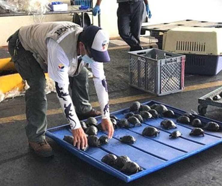 Las tortugas serán liberadas una vez que crezcan y puedan identificar su especie (Foto Fiscalía General de Ecuador).