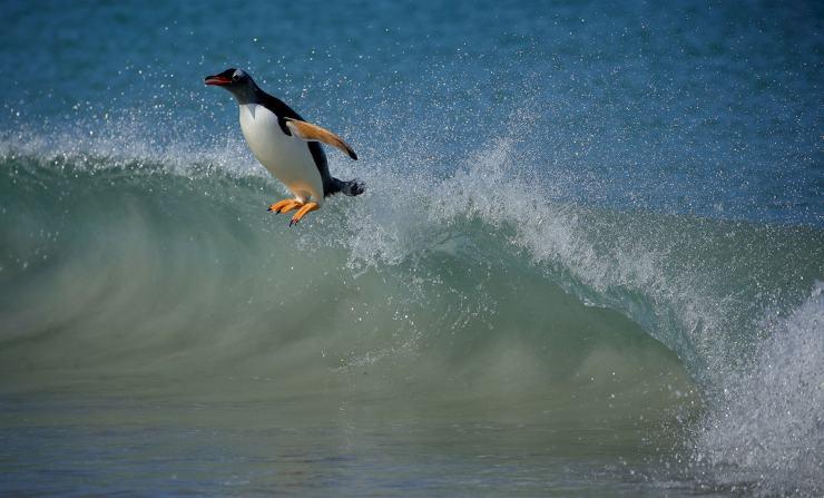 Pingüino surfista