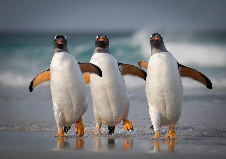 Pingüinos bailarines