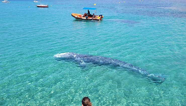 Wally, la ballena gris que deambula en el Mediterráneo (Foto Secretaría de Medioambiente y Territorio del Gobierno de las Islas Baleares - Twitter).