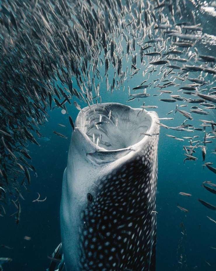 La magia de los tiburones ballena