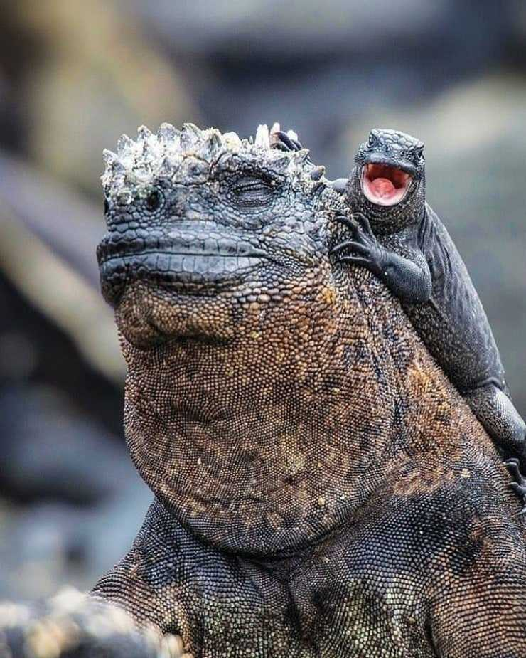 Iguana y lagarto en las Galápagos