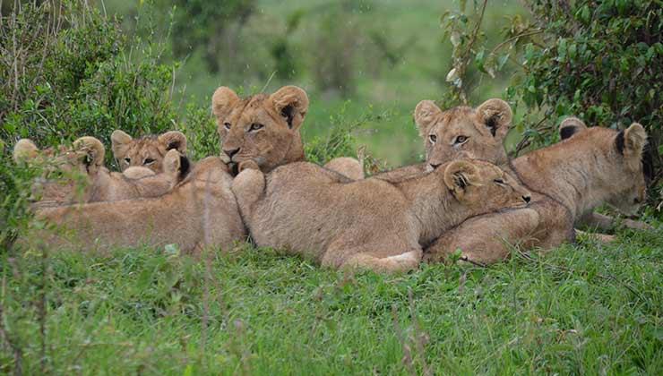 Los leones criados en cautiverio representan una amenaza para la fauna silvestre y la economía local (Foto de Irina Anastasiu - Pexels).
