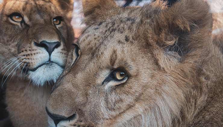 Los leones que son criados en cautiverio para caza están sentenciados a muerte desde el momento en el nacen (Foto de Vincent Ma Janssen - Pexels).