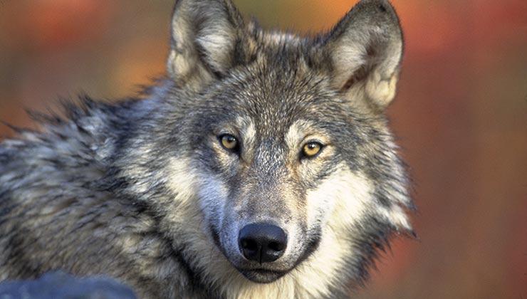 Idaho planea reducir su población de lobos salvajes de 1.500 individuos a 150 (Foto de Pixabay - Pexels).