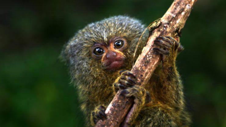 Mono leoncillo, el más pequeño y tierno del mundo