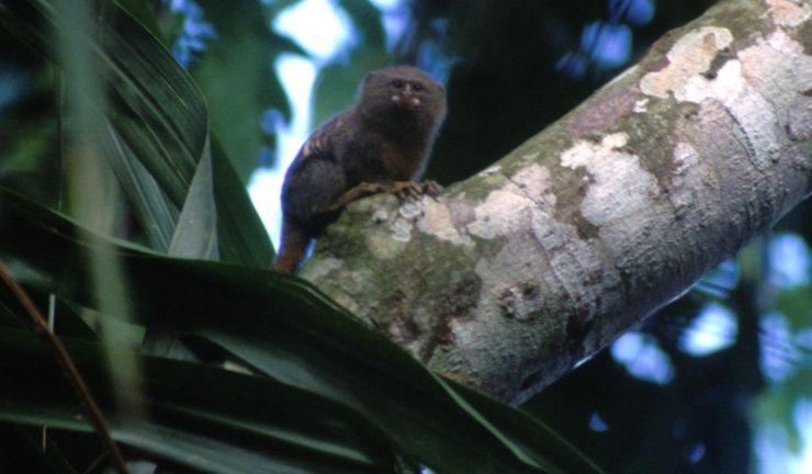 Mono leoncillo en Ecuador