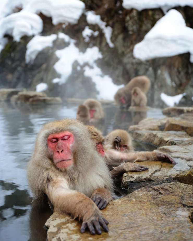 Monos en Japón