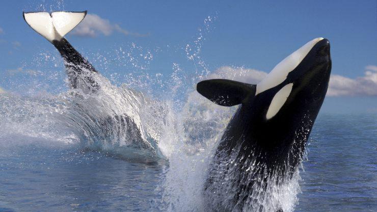 Orcas: una espectacular cacería frente a unos buzos captada en video