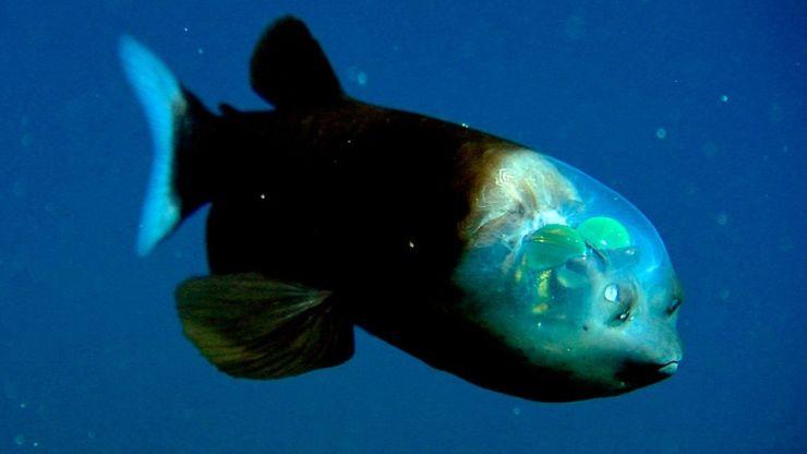 Vida en las profundidades: conoce el asombroso pez cabeza transparente