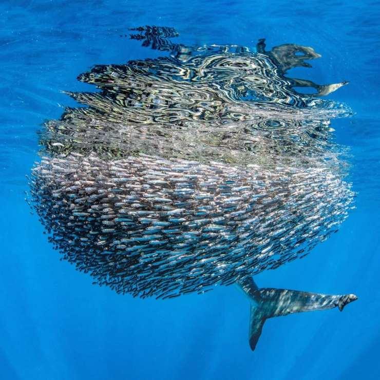 tiburón arenero escondido