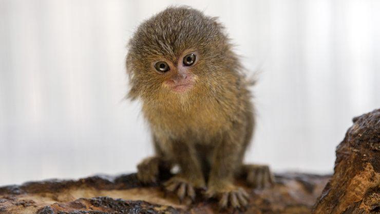 ¿Quieres conocer al mono más pequeño y tierno del mundo?