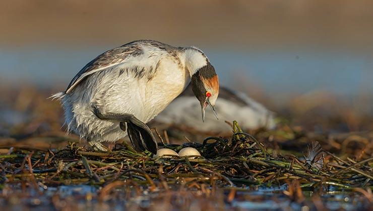 El macá tobiano sólo pone dos huevos por temporada (Foto Fundación Whitley por la Naturaleza).