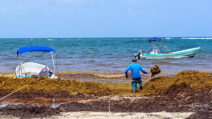 Sargazo, el alga invasora que amenaza al caribe mexicano