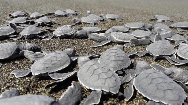 Camadas de tortugas intentando llegar al mar