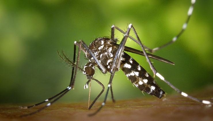 Los mosquitos utilizados para estas pruebas son de la especie Aedes aegypti (Foto: Pixabay - Pexels).