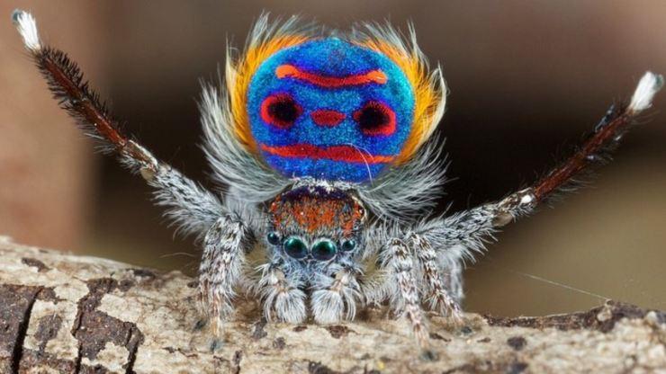 Datos fascinantes sobre el cortejo de la pequeña araña pavo real