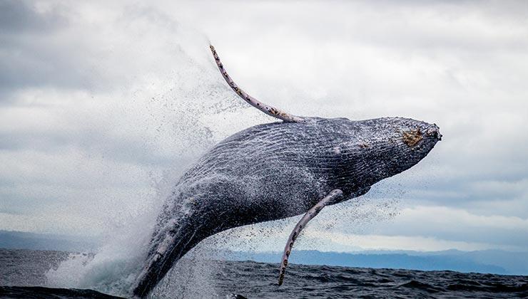 Las ballenas jorobadas se caracterizan por sus piruetas. Se las puede disfrutar en la costa de México (Foto: Silvana Palacios - Pexels).