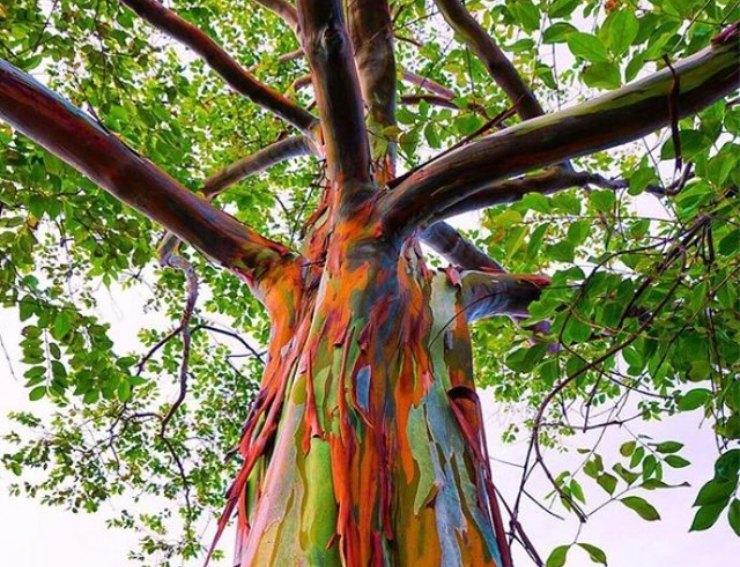 No, no está pintado: así luce un magnífico eucalipto arcoíris