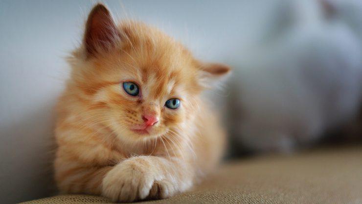 Reglas de oro para tener en cuenta antes de adoptar un gato