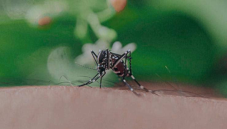 Los mosquitos que pican a las personas son hembras. Si se relacionan con un macho modificado genéticamente morirían (Foto: Anuj - Pexels).